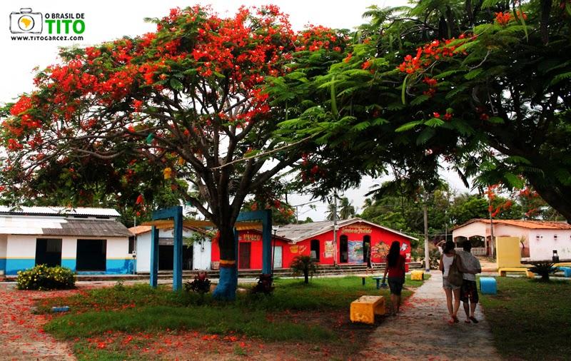 Flamboyants na praça da vila do Algodoal, na ilha de Maiandeua, no Pará