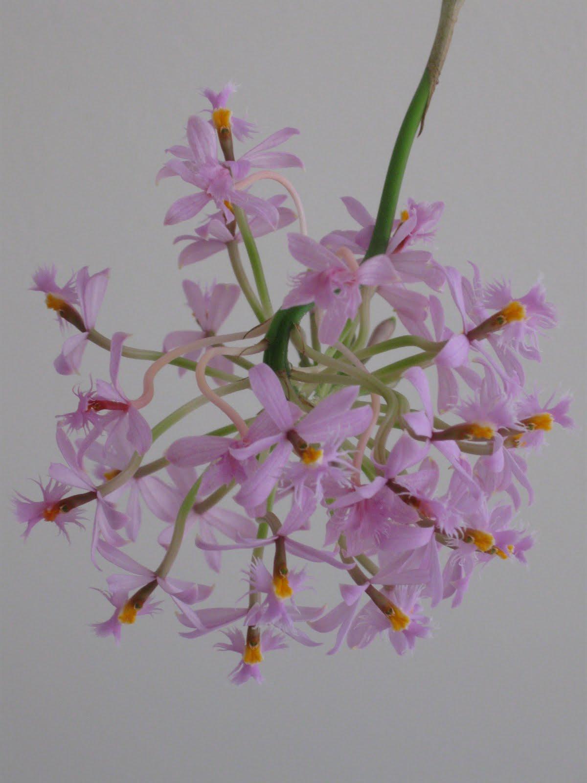 Mini-orquídeas