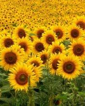 Polje suncokreta download besplatne slike pozadine za mobitele