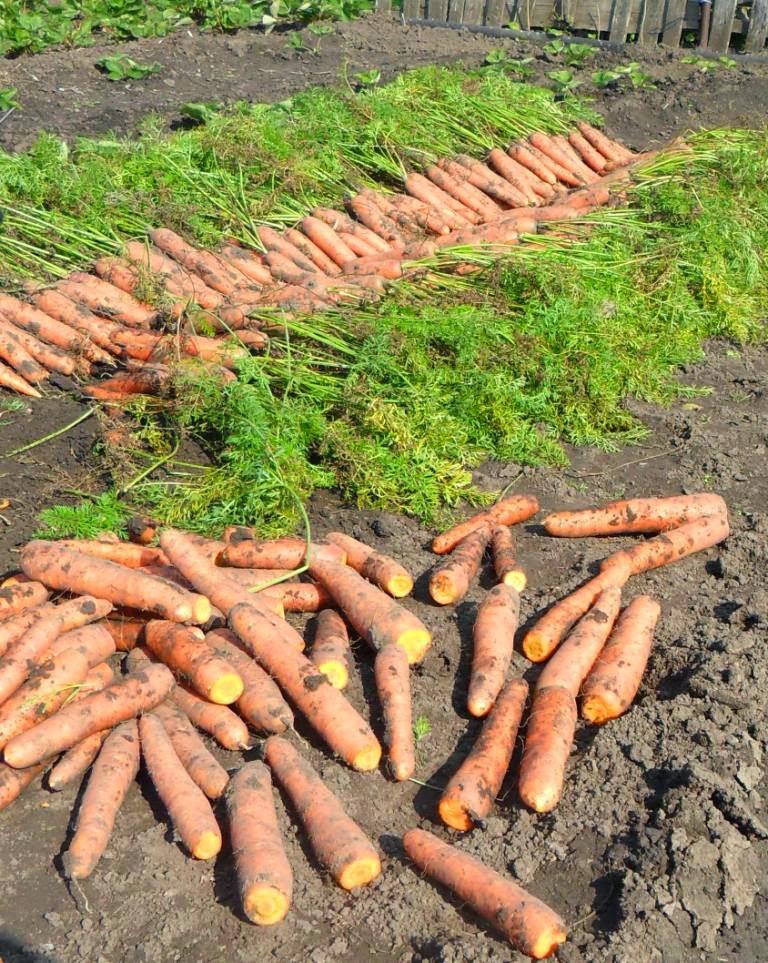 Морковку для хранения сразу после просушки обрезаю
