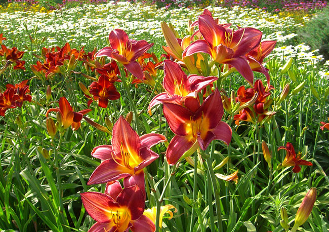 Daylily Flowers Pictures