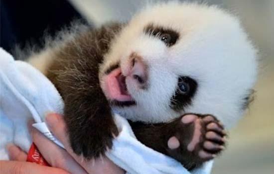 Pertandingan Beri Nama Anak Panda Malaysia