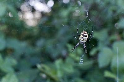 Samica osjega pajka