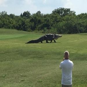 Jacaré de 353 kg é visto atravessando campo de golfe nos EUA