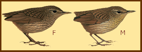 El chochín, pájaro que fue extinguido por un único gato