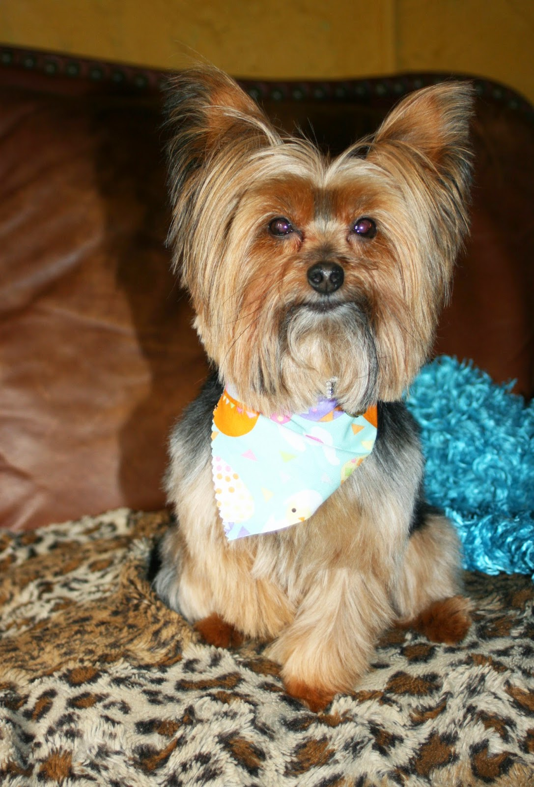 Miniature Yorkshire Terrier New Haircut For The Best Yorkie In Chicago