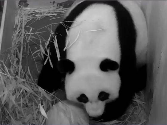 Panda at the time of Birth