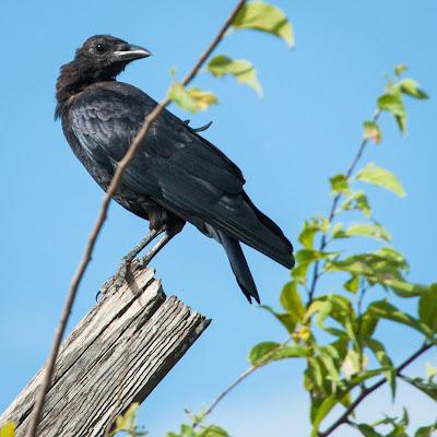 Crow, Winscott Plover Road