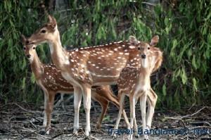 deer save the sundarban amp south west bangladesh