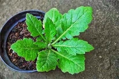 manfaat daun sirsak untuk kesehatan,daun sirsak untuk kesehatan dan kecantikan,daun salam untuk kesehatan,daun dewa untuk kanker,manfaat umbi daun dewa,