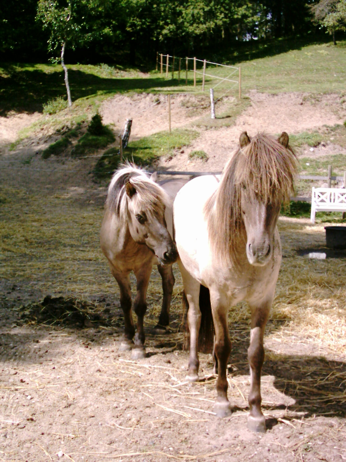 islandske heste dyrehaven