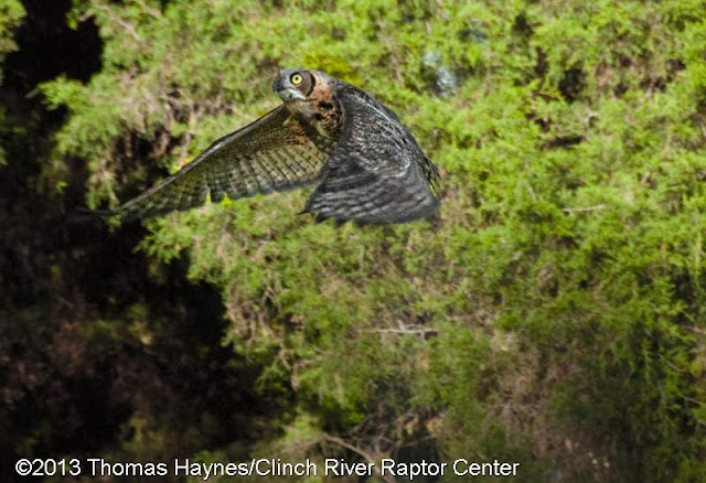 great horned owl from CRRC released back into the wild, thomas haynes photo