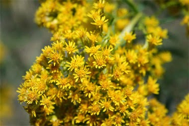 http://www.netstate.com/states/symb/flowers/ky_goldenrod.htm