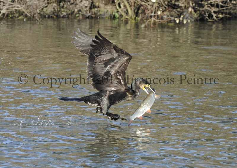 cormoran le corbeau marin