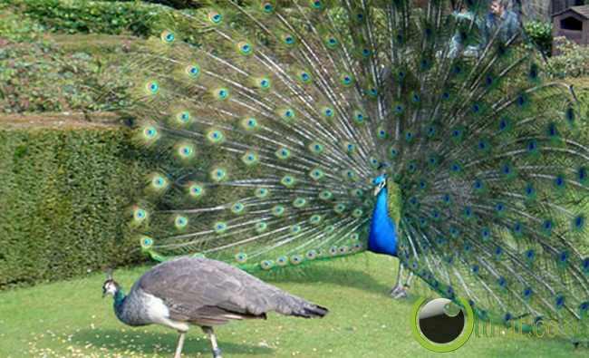 Peacock (Merak)
