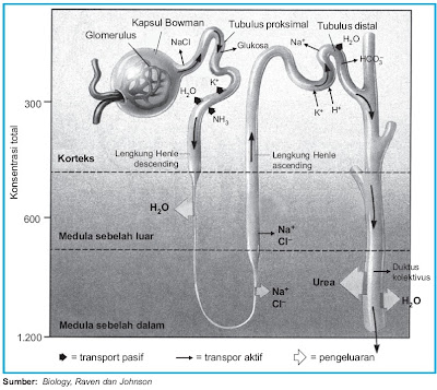 Diagram proses reabsorpsi urine