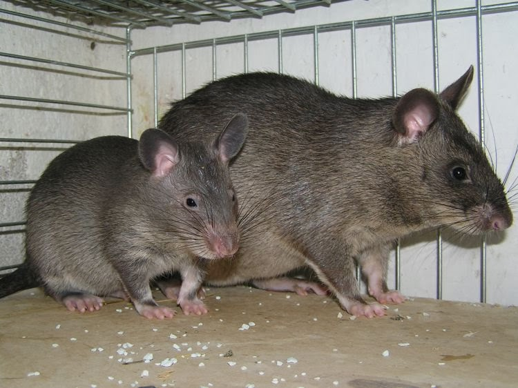 Animaletes rata gigante o de gambia - Trampas para ratones de campo ...