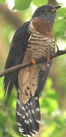 cuckoo bird in tree