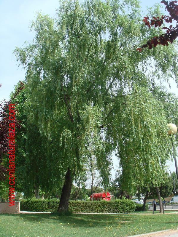 Flora urbana de getafe sauce llor n for Lista de arboles de hoja caduca