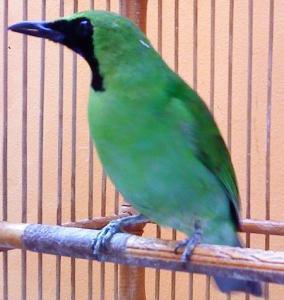 cara merawat burung Cucak Hijau
