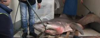 Κρητικός ψαράς έπιασε τεράστιο καρχαρία [video]