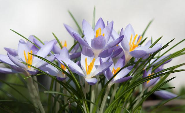 Frühling, Krokusse