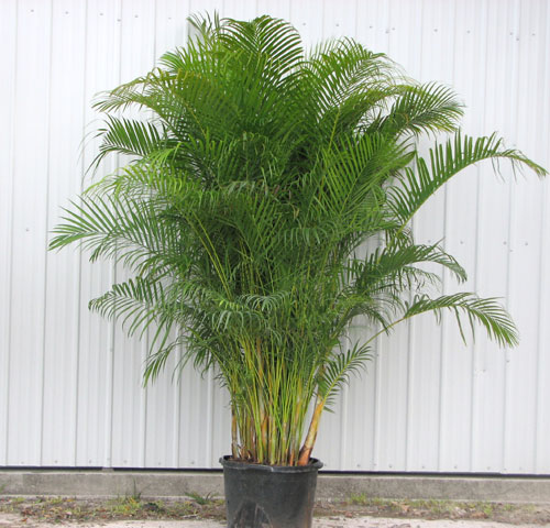 Benefit of plants benefits of planting trees for Pictures of areca palm plants