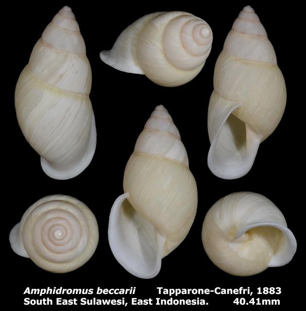 Amphidromus beccarii 40.41mm
