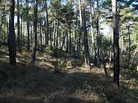 Bosc de pi amb l'escorça encara ennegrida de l'antic incendi