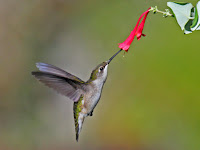 Ruby-throated Hummingbird hd wallpaper