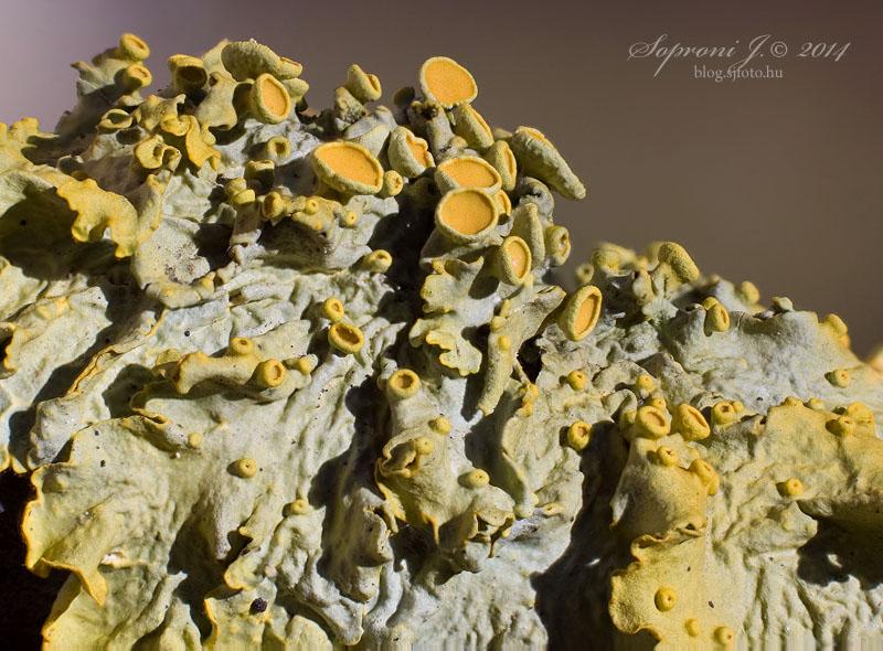 Sárga falizuzmó - Common Orange Lichen - Gewöhnliche Gelbflechte - Xanthoria parietina