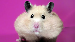 Skin Diseases in Hamsters !