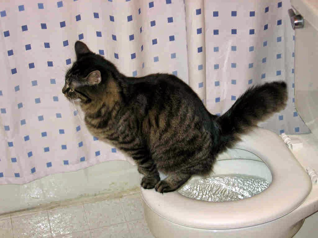 Cat that can use a Toilet - CitiKitty
