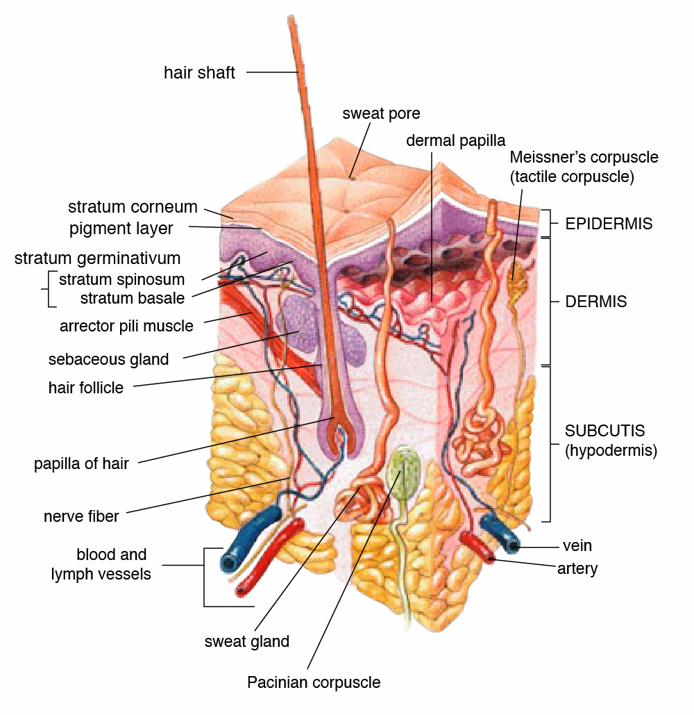 WORKING OF SENSORY RECEPTORS WITH SPECIAL REFERENCE TO SKIN ...