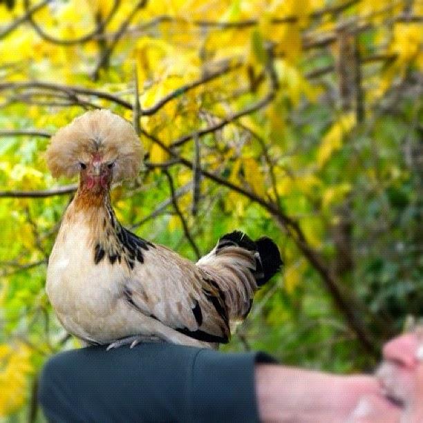 une poule