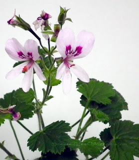 Scented pelargonium (geranium) Marie Thomas flowers