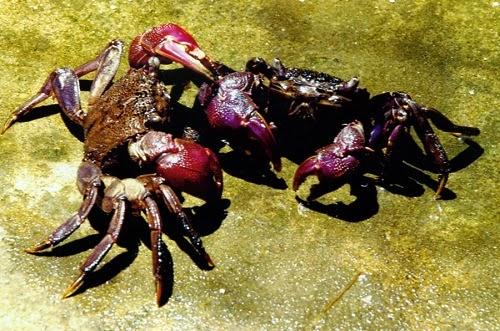 Ba Khía (Freshwater Crabs)1