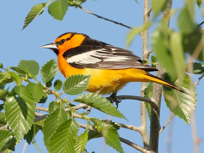 Bullock's Oriole
