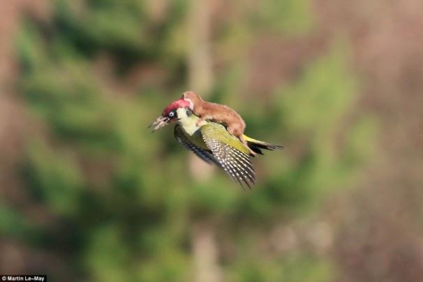 Foto Facebook: Comadreja volando sobre un pájaro carpintero sorprende al mundo