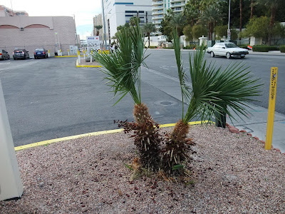 palm tree in las vegas, seeds on the tree