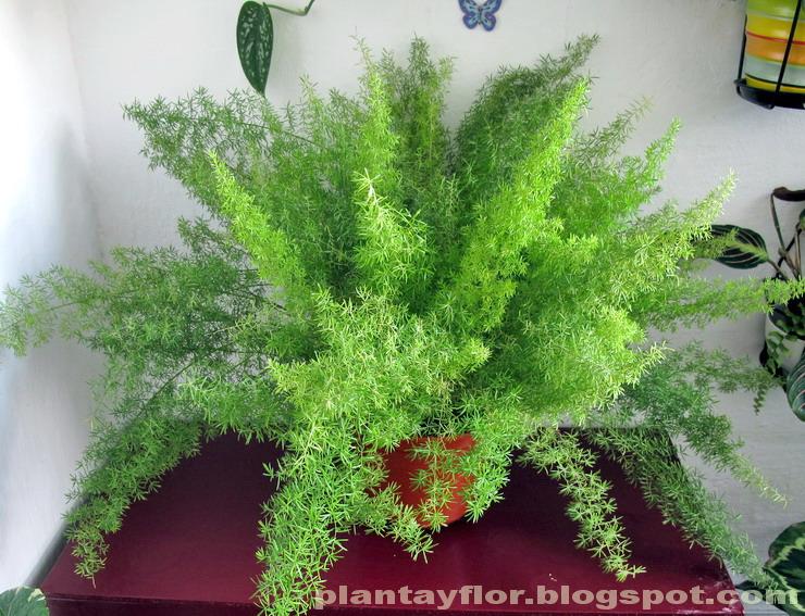 Plantas y flores asparagus densiflorus 39 sprengeri 39 for Clases de plantas ornamentales