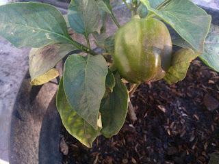 menanam paprika dalam pot jelang masak