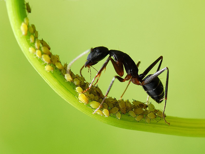 ants and aphids symbiotic relationship