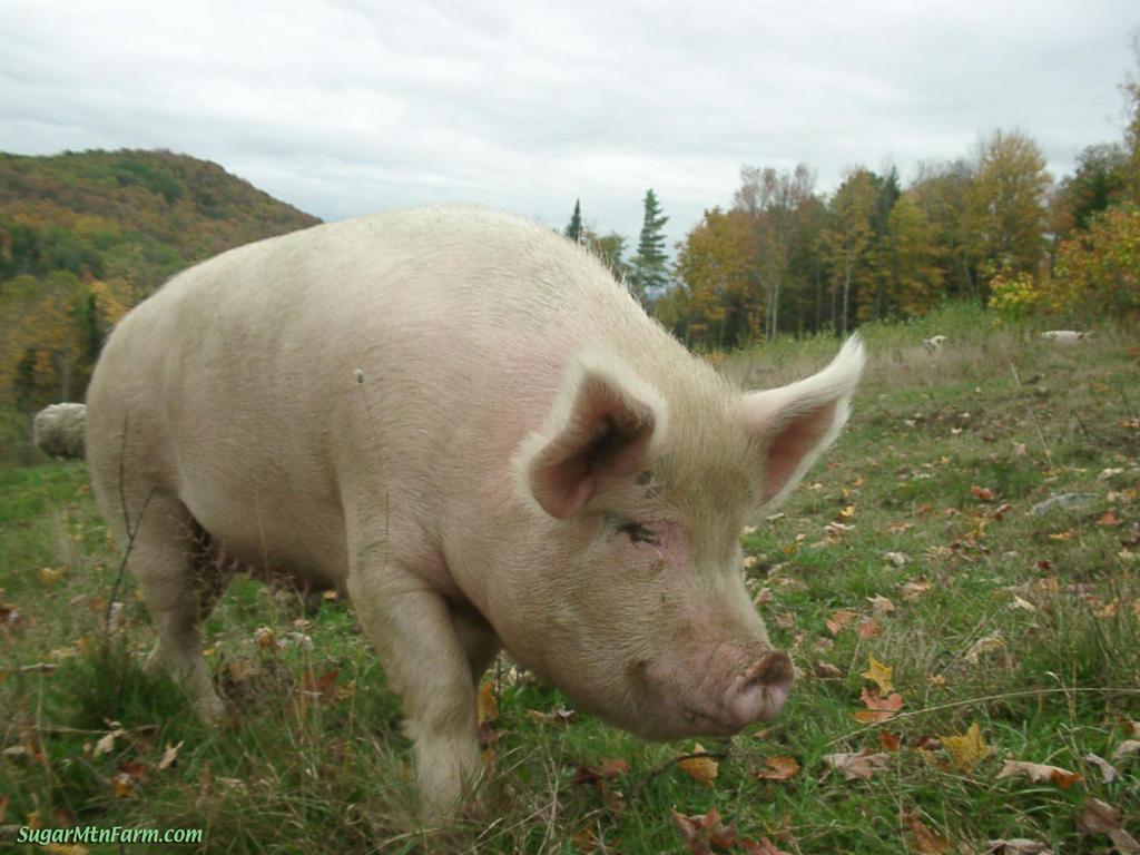 Pig Animal Wildlife
