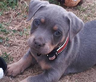 Dog Breeds Small Short Hair