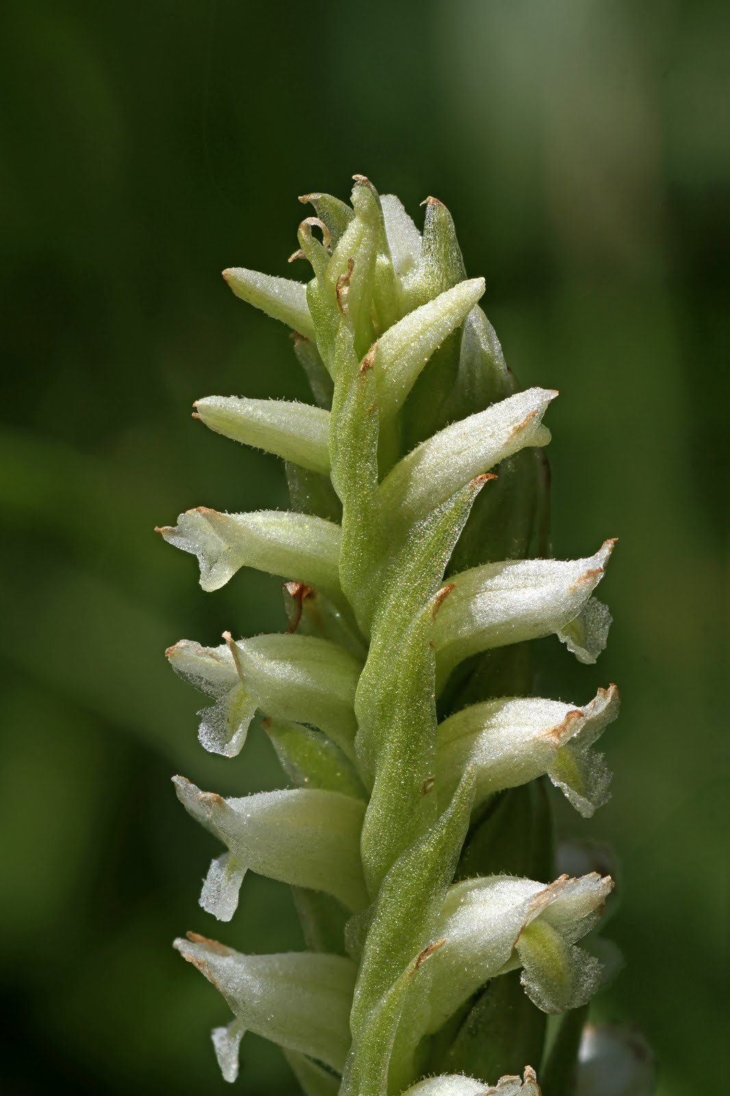 How Far Is Yellowstone >> Native Orchids of the Pacific Northwest and the Canadian Rockies: Spiranthes romanzoffiana in ...