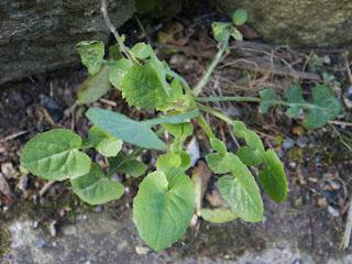 Sow thistle (Sonchus oleraceus) plant