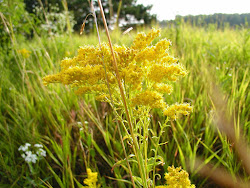 Canadian Golden Rod