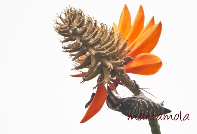 Sunda pygmy woodpecker (Dendrocopos moluccensis)