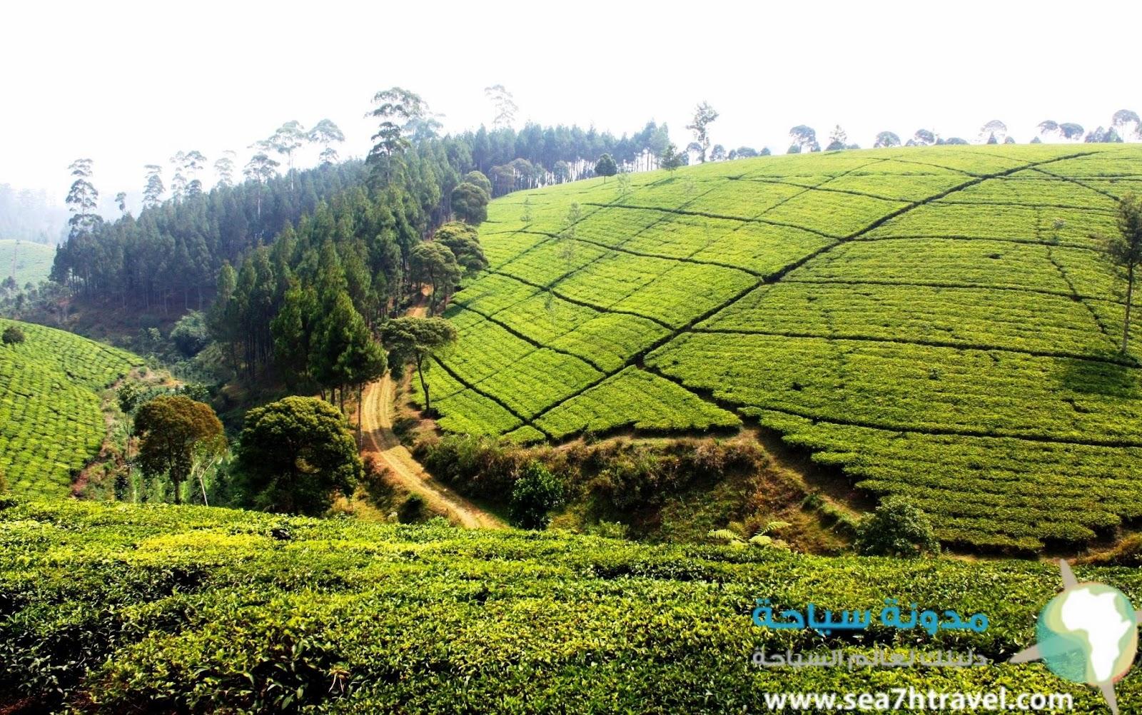مزارع الشاي في بوقور اندونيسيا